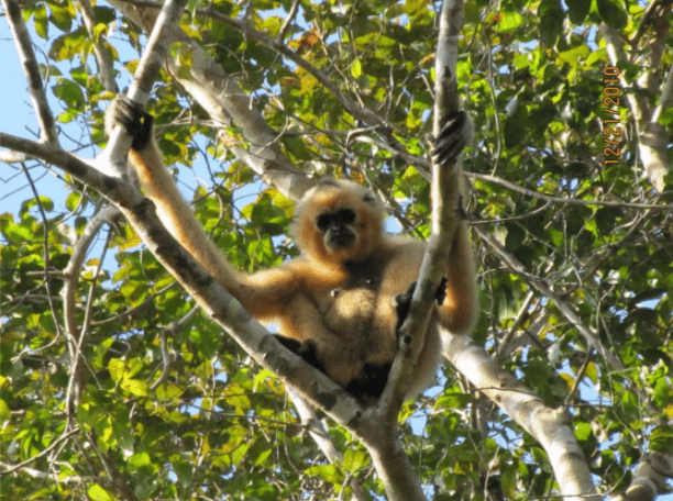 Chasing Gibbons in Cambodia's Protected Northeast