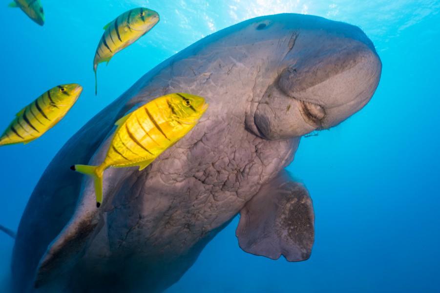 dugong, Trang