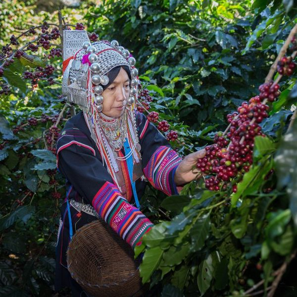 Hilltribe picking coffee Doi Chaang