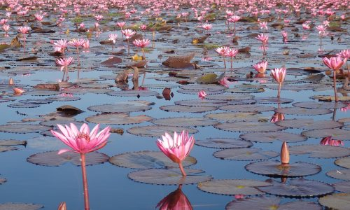 thailand-red-lotus-sea-4700563_1920-pixabay